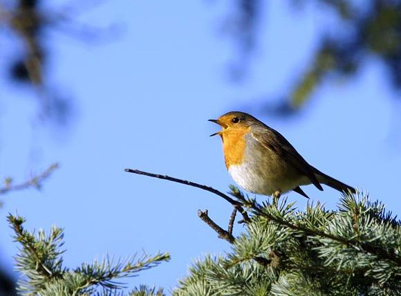 comment apprendre les chants d oiseaux